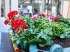 2021_04_26-Blumenamplen-in-der-Hildener-City_001